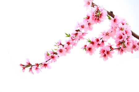The peach trees blossom in spring Stockfoto