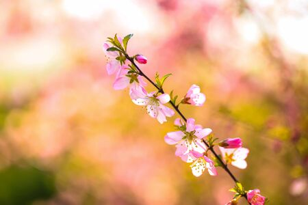 In spring, the plum trees bloom, Peach blossoms in bloom