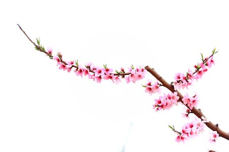 The peach trees blossom in spring