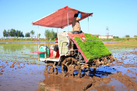 Farmers planting rice in field by using rice planting machine, rice planting by rice transplanter, Asian farmer transplant rice seedling in rice field.