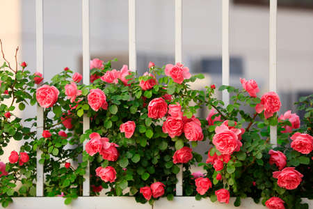 summer, The roses are in full bloom close-up