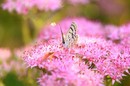 gossamer-winged butterfly, A butterfly is gathering honey