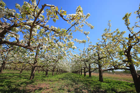 The pear trees blossom in spring Stockfoto
