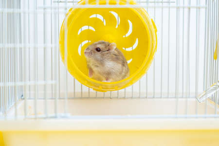 A cute little hamster sits in a wheel in a cage. Dwarf gray hamster is a pet.