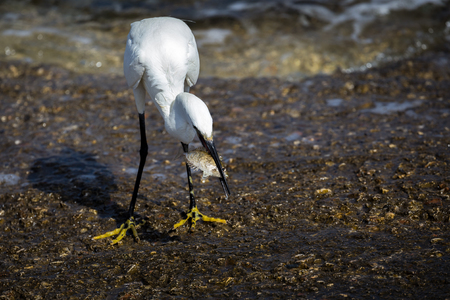 A Little Egret (Egretta Garzetta) standing in foamy water with a small Marbled-Spinefoot fish it has caught