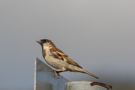 song bird: A male Sparrow sitting on a street sign and watching the sky