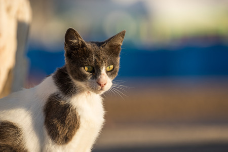 grey eyed: A green eyed, grey & white stray cat in low sunset light
