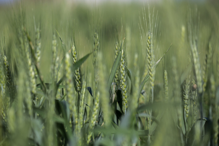 secale: Young green Rye crop (Secale Cereale)