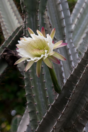 cereus: The crown shape flower of the night blooming cactus Cereus Rapandus, known as the Peruvian Apple