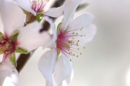 painterly: Almond tree flowers, close-up, painterly effect
