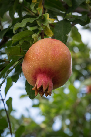 punica granatum: Ripe fruits hanging on aPomegranate tree (Punica Granatum)