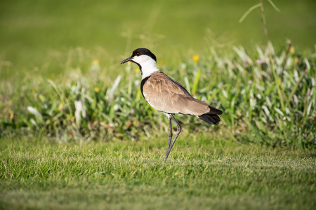 A Spur-Winged lapwing on the grass, late afternoon light