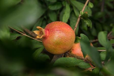 punica granatum: Wet ripe fruits hanging on aPomegranate tree (Punica Granatum)