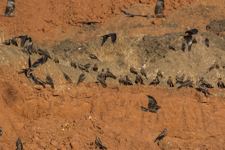 black kite: A group of Black Kite (Milvus migrans) on an earth-mound