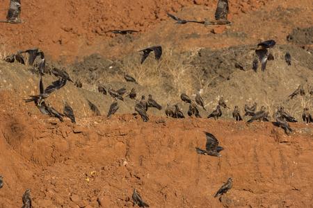 animal kite: A group of Black Kite (Milvus migrans) on an earth-mound