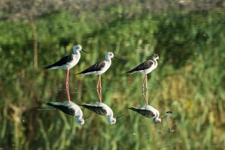 Threesome of Black-Winged Stilts standing in shallow mirror water Stock Photo