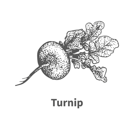 turnip: Vector illustration doodle black and white hand-drawn turnip. Isolated on white background. The concept of harvesting. Vintage style. Plant with the inscription.