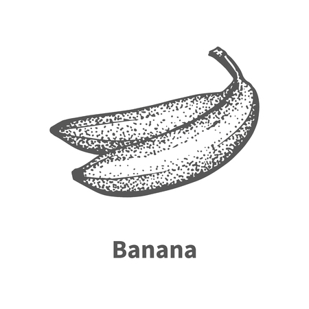 foetus: Vector illustration doodle black and white hand-drawn banana. Isolated on white background. The concept of harvesting. Vintage style. Fruit with the inscription. Illustration