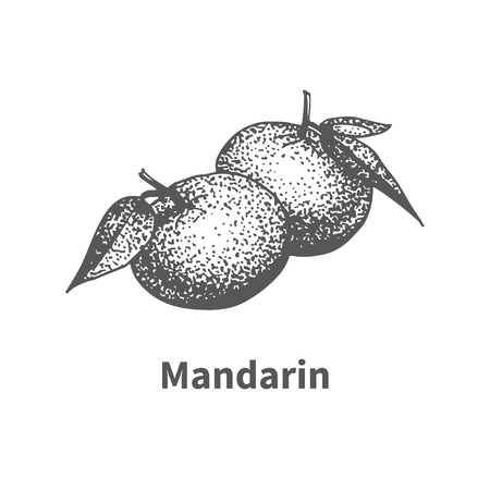 mandarins: Vector illustration doodle black and white hand-drawn mandarin. Isolated on white background. The concept of harvesting. Vintage style. Fruit with the inscription.