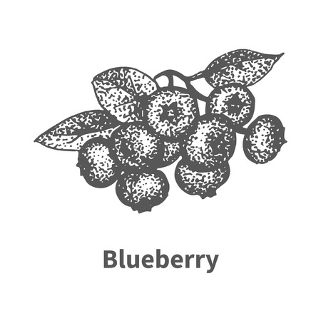 whortleberry: Vector illustration doodle sketch hand-drawn blueberry with leaves and branches. Isolated on white background. Berry painted dots and lines. The concept of gardening and harvesting.