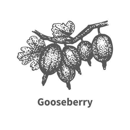 Vector illustration doodle sketch hand-drawn gooseberry with leaves and branches. Isolated on white background. Berry painted dots and lines. The concept of gardening and harvesting. Illustration