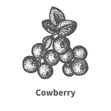 whortleberry: Vector illustration doodle sketch hand-drawn cowberry with leaves and branches. Isolated on white background. Berry painted dots and lines. The concept of gardening and harvesting.