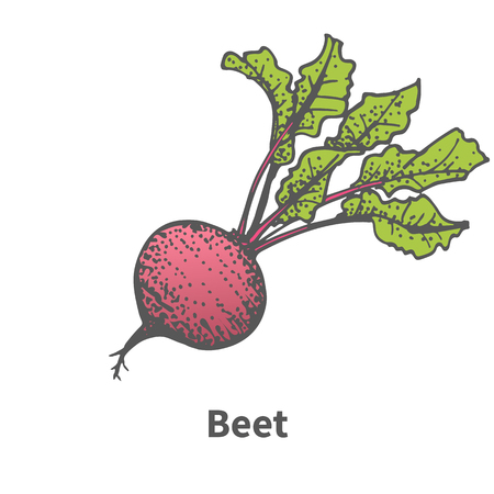 haulm: Vector illustration doodle sketch hand-drawn beet. Isolated on white background. The concept of harvesting. Pets vegetables. Vintage retro style. Beetroot with tops. Illustration