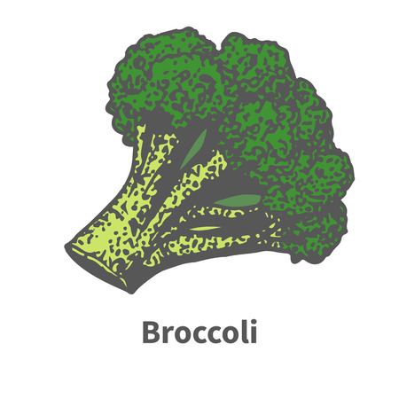 halm: Vector illustration doodle sketch hand-drawn green broccoli. Isolated on white background. The concept of harvesting. Pets vegetables. Vintage retro style. Broccoli tops. Illustration