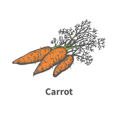 halm: Vector illustration doodle sketch hand-drawn carrot. Isolated on white background. The concept of harvesting. Pets vegetables. Vintage retro style. Carrots with tops.