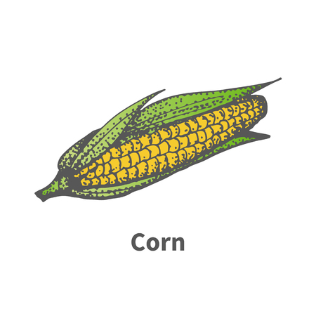 Vector illustration doodle sketch hand-drawn yellow corn with leaves. Isolated on white background. The concept of harvesting. Vintage retro style. Ripe maize on the cob.