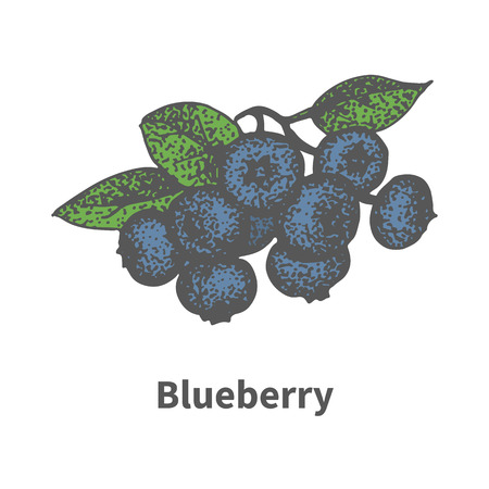 ripened: Vector illustration doodle sketch hand-drawn bunch of ripened blue blueberry. Isolated on white background. The concept of harvesting. Vintage retro style. Ripe bilberry with leaves and branches. Illustration