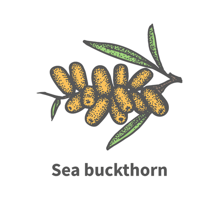 greengrocery: Vector illustration doodle sketch hand-drawn bunch of ripened juicy sea buckthorn. Isolated on white background. The concept of harvesting. Vintage retro style. Yellow berry with green leaves.