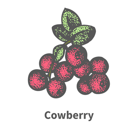 cowberry: Vector illustration doodle sketch hand-drawn bunch of ripened red cowberry. Isolated on white background. The concept of harvesting. Vintage retro style. Ripe foxberry with leaves and branches. Illustration