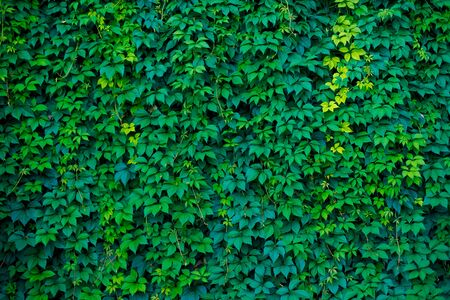 texture of a loach of wild grapes on a wall, green leaves