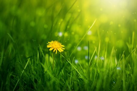 Yellow dandelion in the sun on a green background Stock Photo