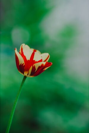 flowers in the home garden, tulip on a green background, spring time