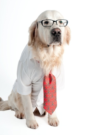 funy: A golden retriever wearing white shirt, tie and glasses