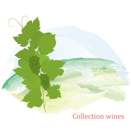 Illustration, grapevine and grapes clusters