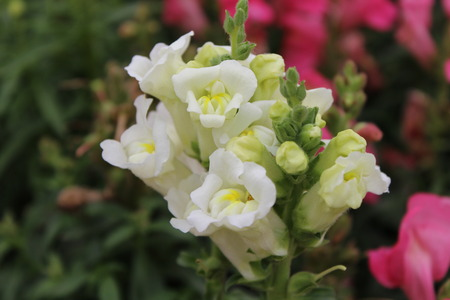 snapdragon: Close up to Snapdragon