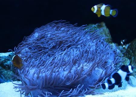 bowel: Blue Anemone Stock Photo