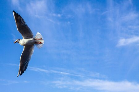 Beautiful seagull flying up in the blue sky Banque d'images