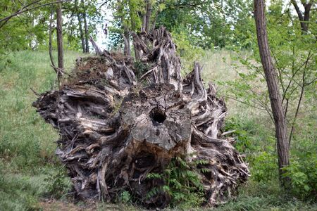Large uprooted stump in a forest among trees in spring on a sunny day