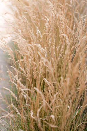 spikelets of dry brown grass sway in the wind (selective focus) 스톡 콘텐츠