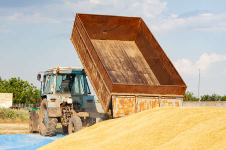 Concept - Grain Harvesting and agricultural equipment 2020. A blue tractor on a farm territory unloads a grain trailer onto a large pile of barley