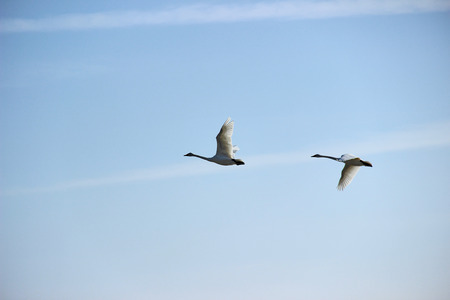 birds scenery: Swan Stock Photo