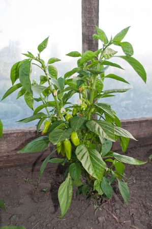 Green peppers growing on plant photo