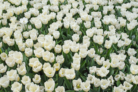 Field of white tulips. Bright fresh flowers and leaves. Spring nature background for card design or web banner. Beautiful bouquet.