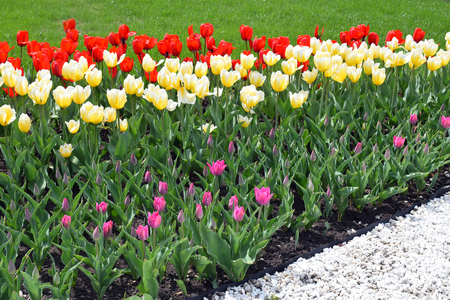 Flower bed with colorful tulips: red, white, pink, yellow. Bright fresh flowers, green grass and white stones. Spring nature background for card design or web banner. Beautiful bouquet.