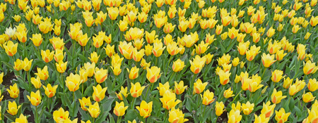 Field of yellow tulips. Bright fresh flowers and leaves. Spring nature background for card design or web banner. Beautiful bouquet.