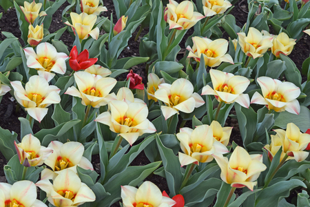White tulips in the flower garden. Spring nature background for card design or web banner. Beautiful bouquet.